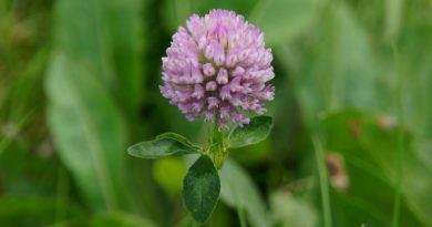 Benefits of Using Red Clover