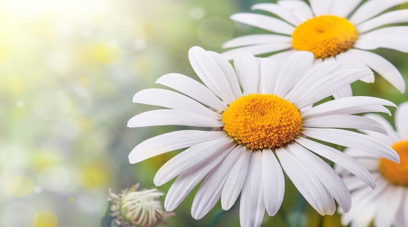 Crazy About Chamomile!