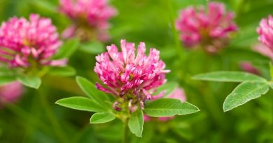 Heal Yourself With Red Clover